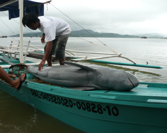 Irrawaddy dolphin mortality from bycatch, Malampaya Sound, Philippines; Photo from the Malampaya Sound Protected Area Office